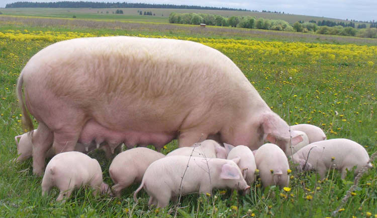 Молодые свиньи породы украинская белая дают мясную продукцию с высокими показателями качества